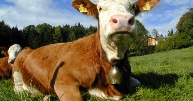 letame vacche